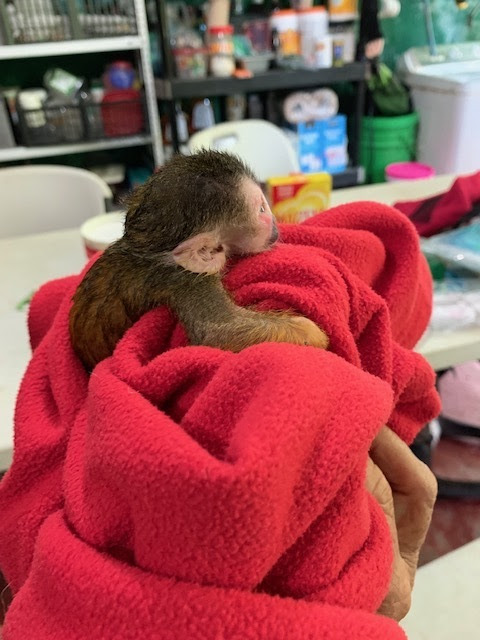 Side view of baby squirrel monkey on red blanket