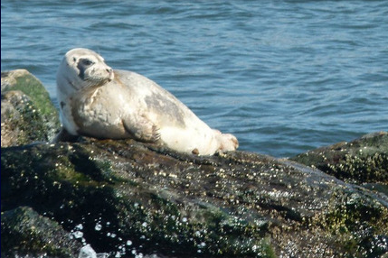 Harbor Seal. Photo Courtesy of NY Water Taxi
