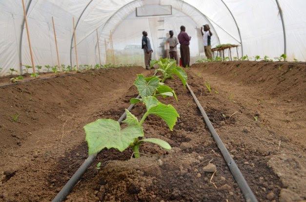 Hema maalumu(greenhouse) la kuoteshea mazao yanayohitaji joto ili yaweze kustawi vizuri