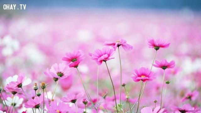 Hoa cúc tím (thạch thảo) - sự lưu luyến khi chia tay,ngôn ngữ các loài hoa,hoa đẹp,hoa ngữ