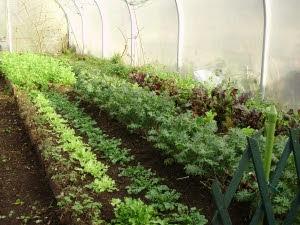 Winter salad beds in the tunnel -Endives, land cress, ragged Jack Kale, lettuce etc.