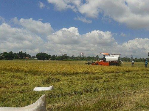 ĐBSCL ngập mặn, trồng lúa ở ĐBSCL, nông dân ĐBSCL, biến đổi khí hậu ở ĐBSCL