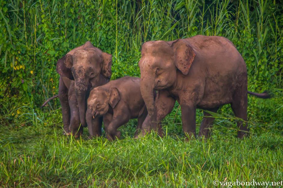 pygmy-elephants-kinabatangan-river-malaysia
