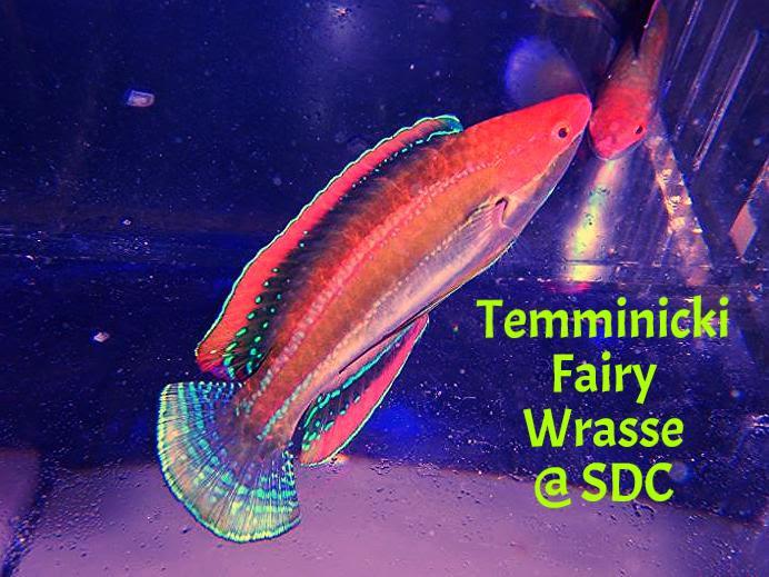 Temminicki Fairy Wrasse