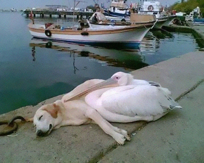 A Pelican Befriended A Stray Dog Who Was Often Spotted Hanging Out All Alone Along The Boat Docks. The Man Who Photographed This Has Adopted Him But Brings Him Back Every Day To See His Friend, Petey The Pelican