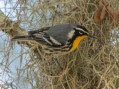 11 Santee Coastal Reserve - Yellow-throated Warbler