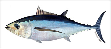 Atlantic bluefin tuna illustration border2