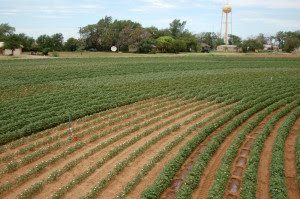 Irrigated cotton plots at the Texas A&M AgriLife Research farm, Halfway, where the measured data came from. (Texas A&M AgriLife Research photo by James Bordovsky)