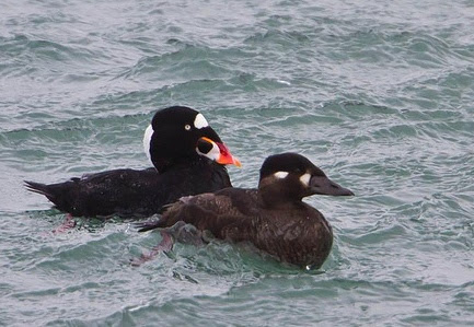 Surf Scoter © Omar Runólfsson
