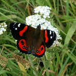 A NatureWatch observation of a Red Admiral, a butterfly species endemic to New Zealand.