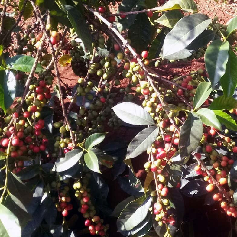 Mt Kenya kenyan coffee cherries growing on the tree some ripe red and some unripe green lovely.jpg