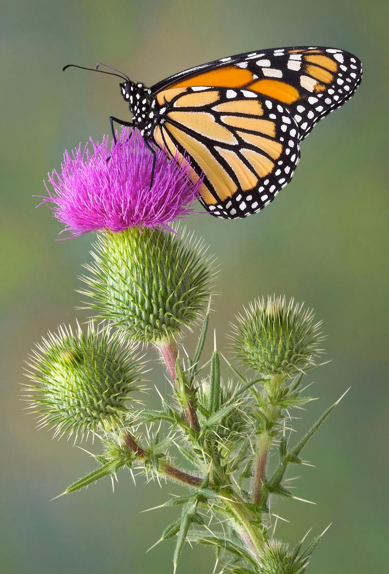 monarch on bull thistle - shutterstock