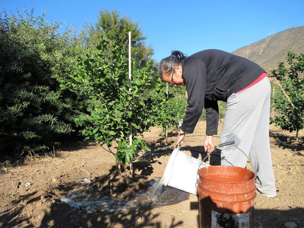L'attivista Veronica Vilches annaffia alberi di limone con acqua insaponata davanti alla sua casa a Cabildo, Cile, aprile 2017. - Alice Facchini