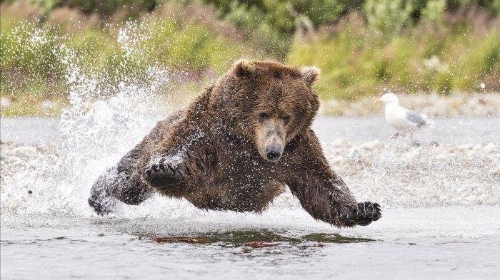 Pourquoi les ours ne souffrent-ils pas de diabète ?
