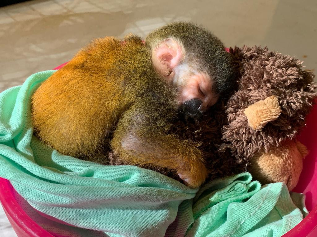 Baby squirrel monkey asleep on stuffed animal