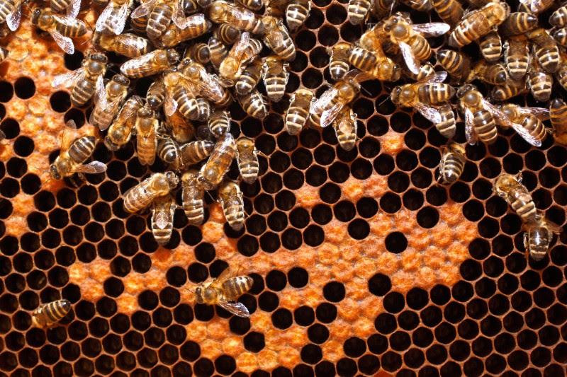 Čebele na satju