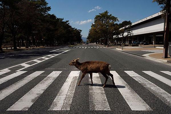 A lone deer crosses a deserted pedestrian crossing in Japan