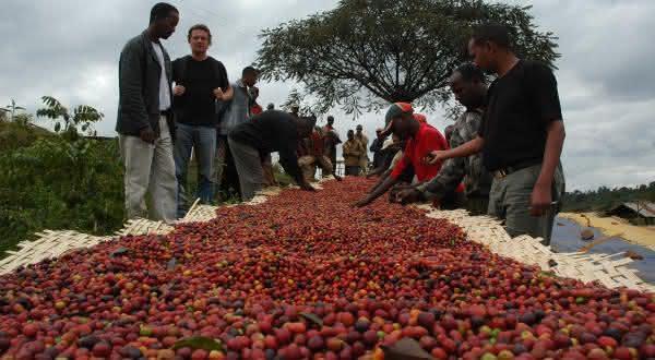 uganda entre os maiores paises produtores de cafe do mundo
