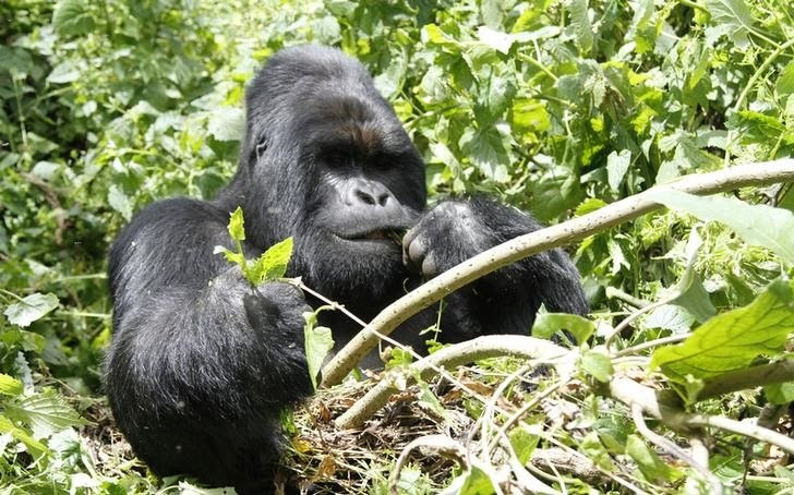 An endangered silverback mountain gorilla from the Nyakamwe-Bihango family feeds within the forest in Virunga national park near Goma in eastern Democratic Republic of Congo, May 3, 2014. REUTERS/Kenny Katombe