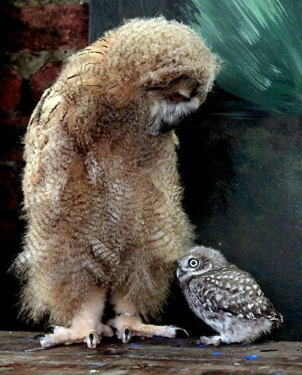 Altia, a 7 week old Siberian Eagle Owl, the largest species of owl in the world meets Powys, a 5 week old Little Owl. The pair are being raised at The Scottish Owl Centre.