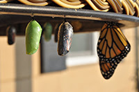 Three different stages of a chrysalis turning into a butterfly