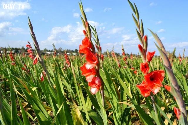 Hoa Lay ơn: Cuộc họp vui vẻ và lời hẹn cho ngày mai,ngôn ngữ các loài hoa,hoa đẹp,hoa ngữ