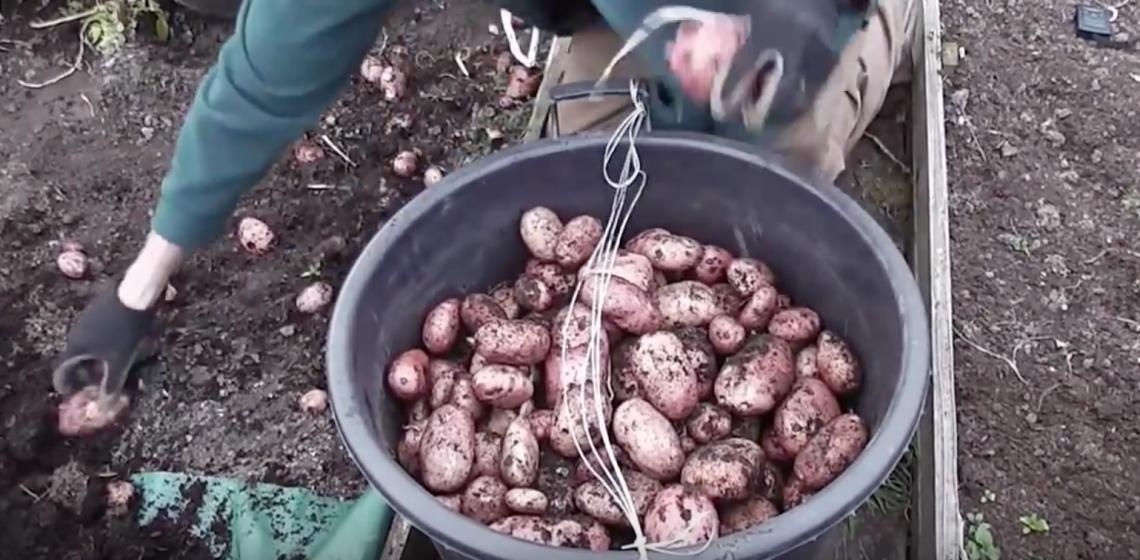 Incredible Way to Grow Potatoes