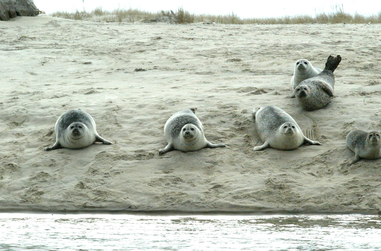 2334x1540-harbor-seals-chatham.jpg