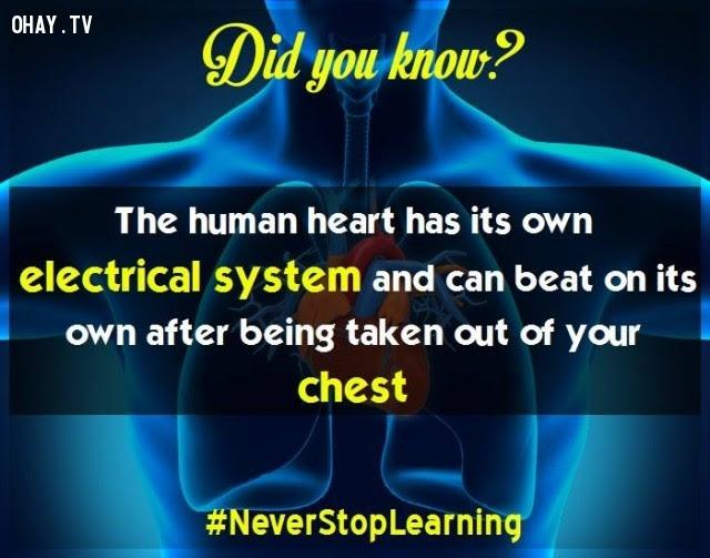 18. Trái tim con người có hệ thống xung điện riêng và có thể tự đập sau khi được lấy ra khỏi lồng ngực.,sự thật thú vị,những điều thú vị trong cuộc sống,khám phá,sự thật đáng kinh ngạc,có thể bạn chưa biết