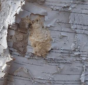 SLF egg masses next to gypsy moth egg masses on a birch tree