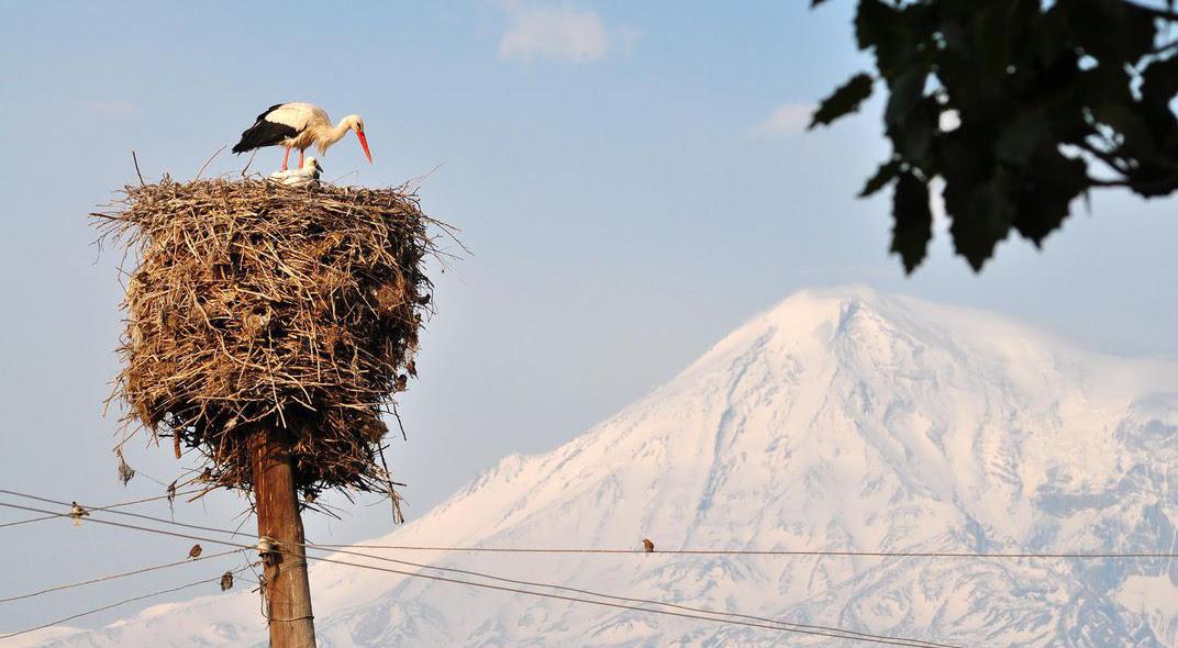 Storks in Armenia