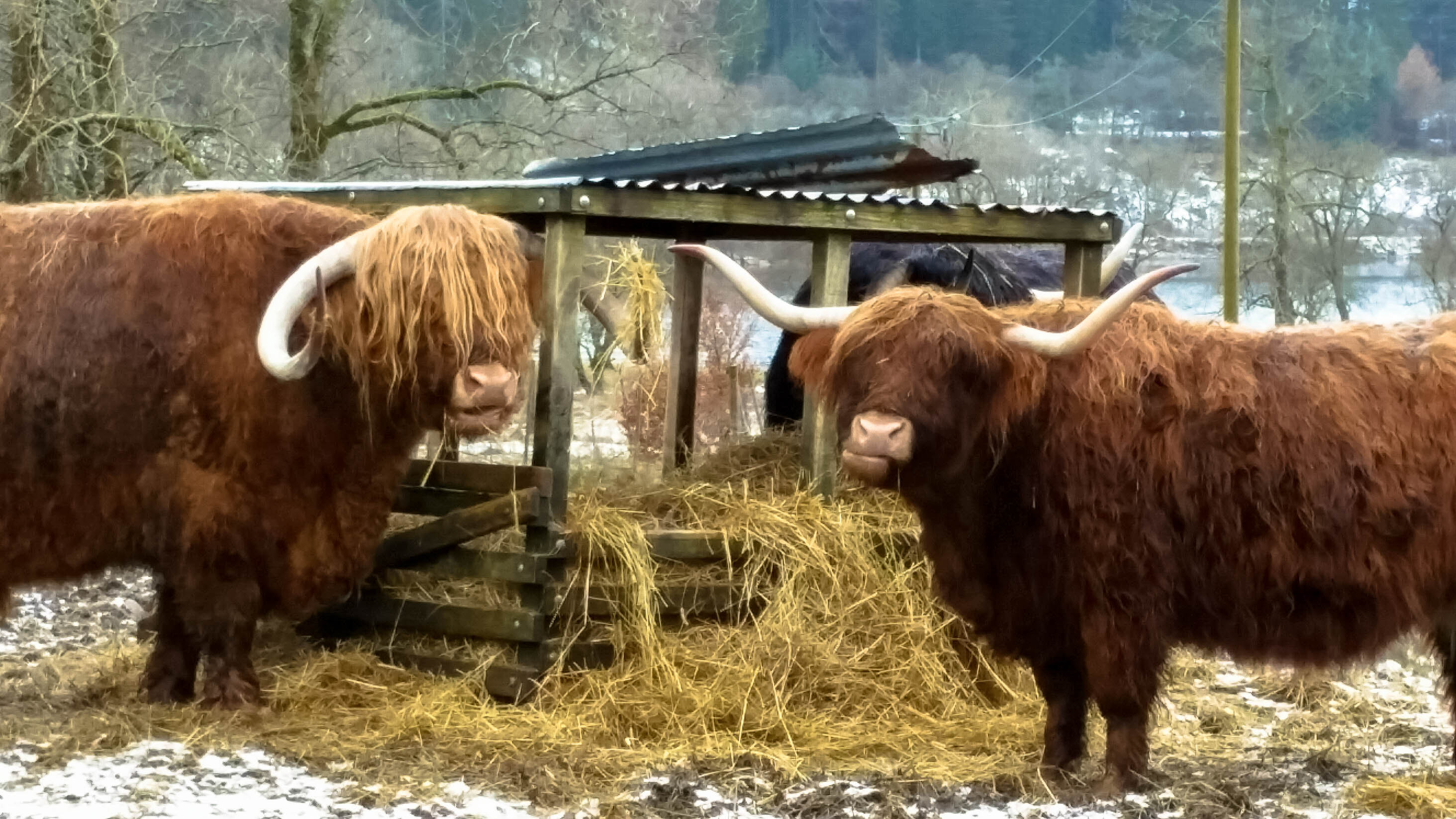 Scottish Hairy Coos