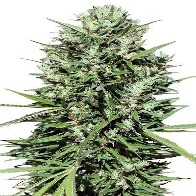 Morocco Beldia Kif ACE Seeds