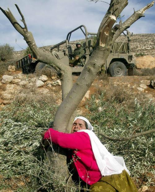 Femme palestinienne pleurant son olivier