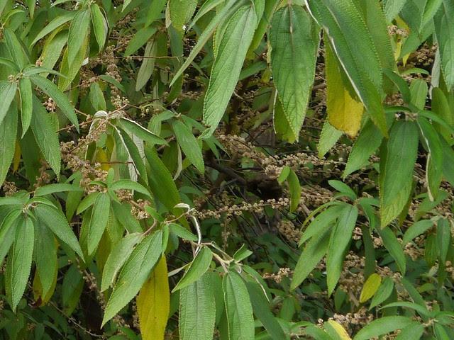 Debregeasia ¿ longifolia ?