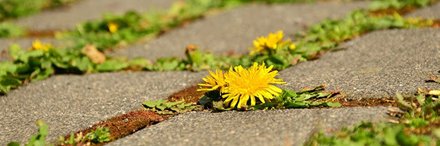 Dandelion growing in a brick sidewalk.