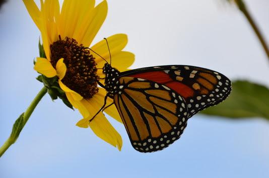 Monarch NR