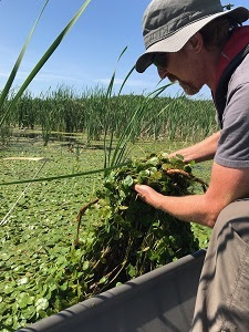 A man in a canoe pulls European frog-bit plants from the water