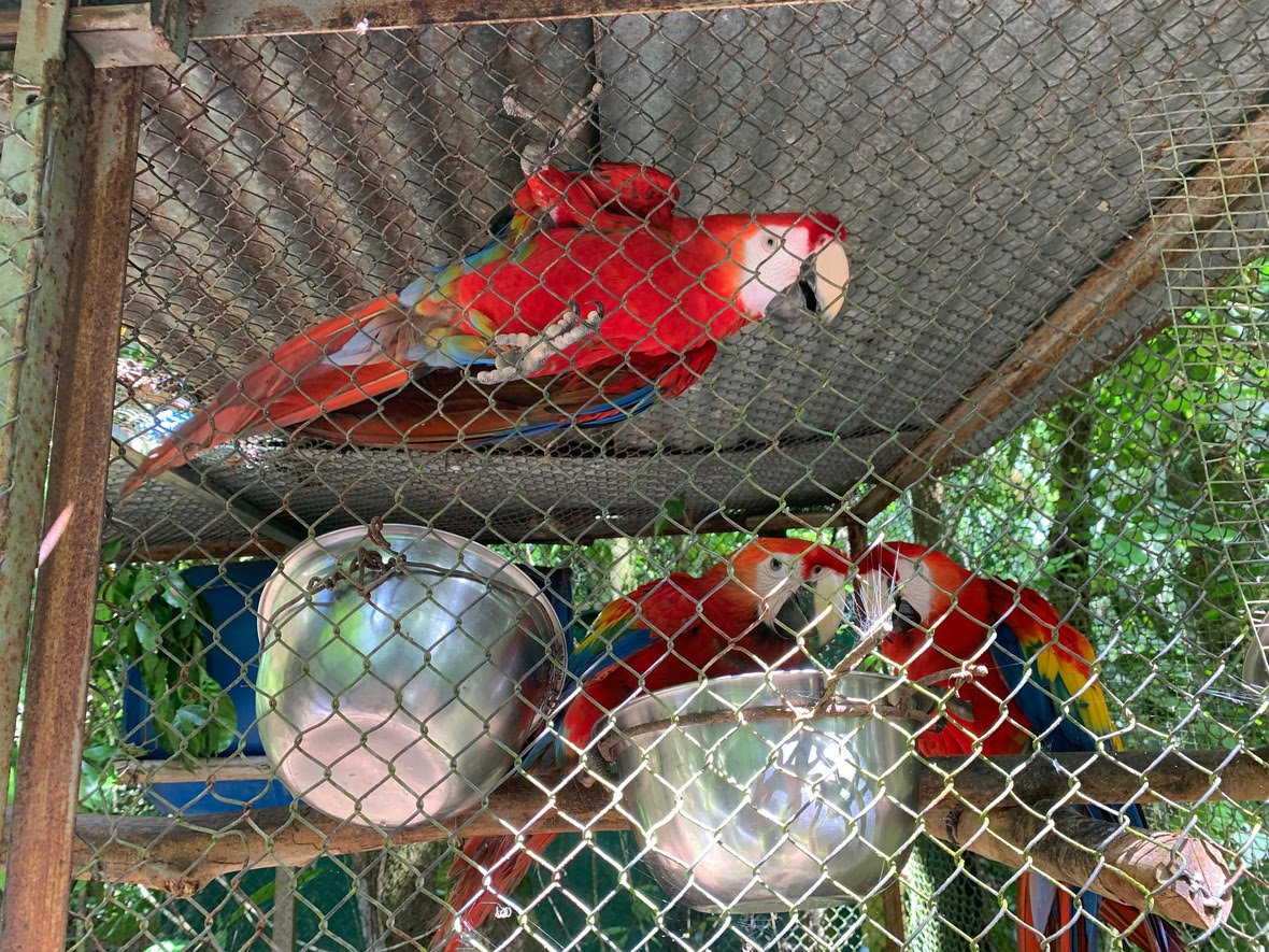 Three scarlet macaws look at the camera through the fencing