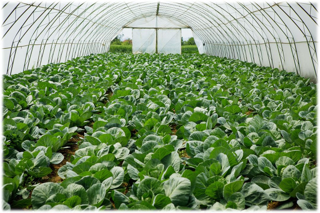 DripIrrigationvegetablegreenhouse.jpg