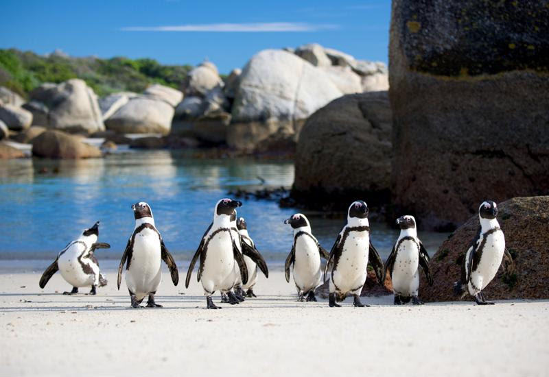 Boulder Beach is inhabited by a colony of penguins.