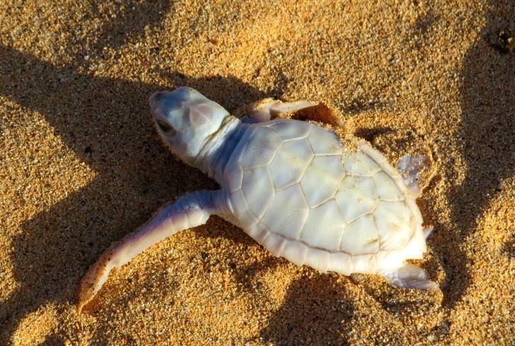tartaruga albina em Fernando de Noronha- Beco curiosidades- pousadas noronha