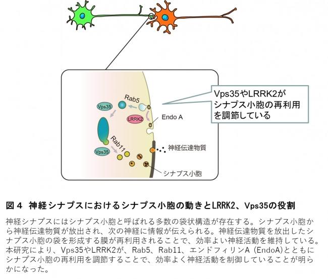 図4 神経シナプスにおけるシナプス小胞の動きとLRRK2、 Vps35の役割