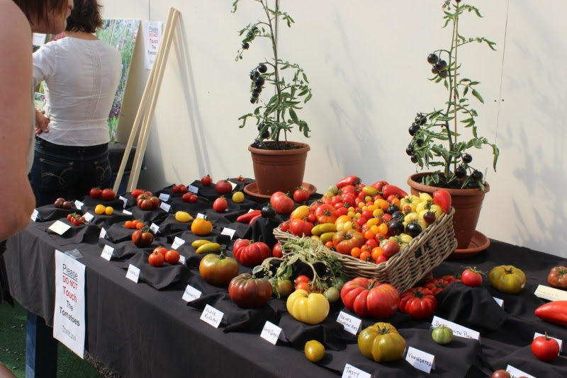 Some of the almost 100 varieties on display at the Totally Terrific Tomato Festival in 2012. At the back in pots are plants of the famous 'Indigo Rose' black tomato.