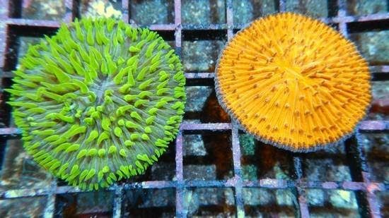 Fungia Coral: Metallic - Australia