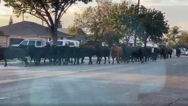Dezenas de vacas escapam de matadouro e causam pânico em Los Angeles