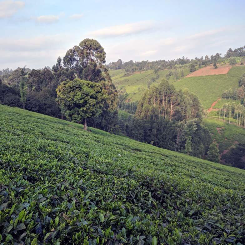 mt kenya coffee farm hillside angel trees downhill leaves everywhere gorgeous tea.jpg