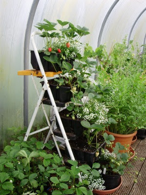 Side view of the stepladder garden planted with strawberries, starting to ripen. The alyssum attracts pollinators