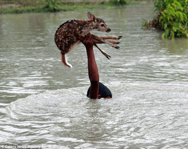 diaforetiko.gr : article 2552923 1B3BDB7100000578 801 634x501 Αυτό το αγοράκι από το Μπαγκλαντές διακινδύνεψε τη ζωή του για να σώσει ένα ελαφάκι!!!