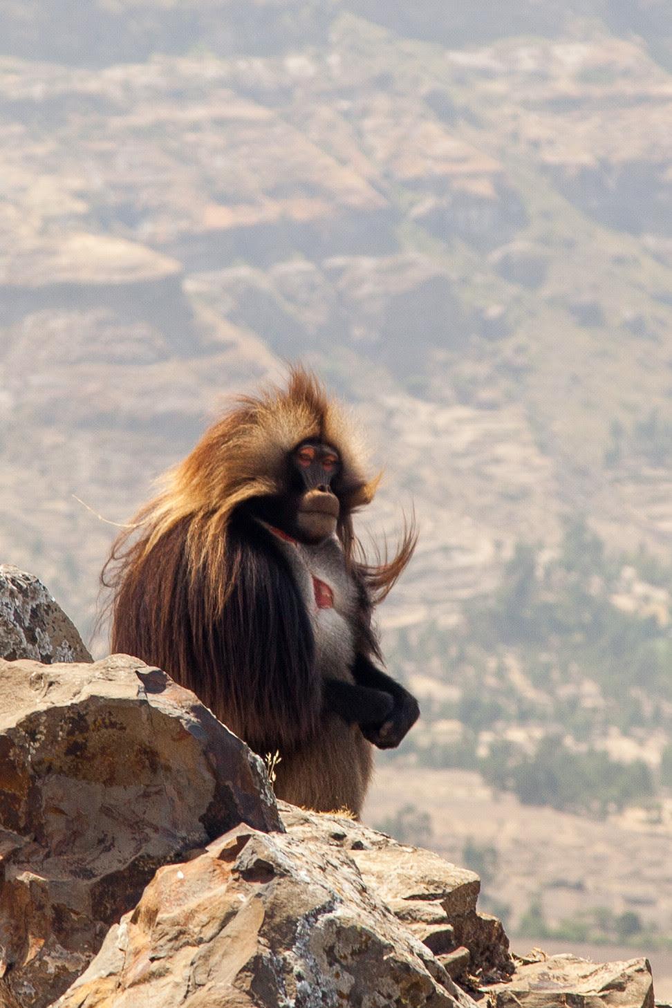 Gelada baboon